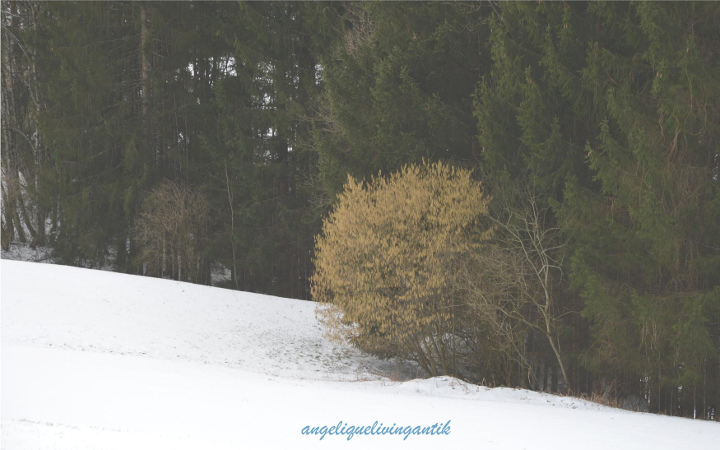 Haselnuss in der Natur