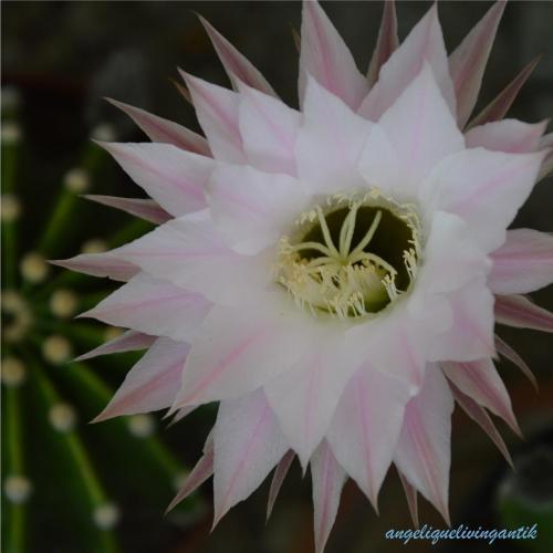 angelique_kaktusbluete