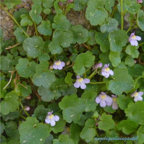 angelique_naturgarten_zimbelkraut